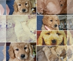 Goldendoodle (Miniature) Breeder in HILTON, NY, USA