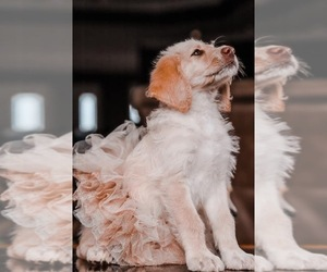 Labradoodle Dog Breeder in HARVEST,  USA