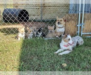 Main photo of Pembroke Welsh Corgi Dog Breeder near WILLS POINT, TX, USA