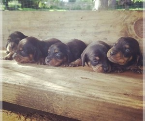 Dachshund Dog Breeder in EUGENE,  USA