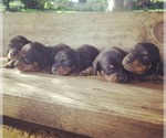 Dachshund Breeder in EUGENE, OR, USA