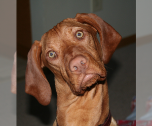 Main photo of Vizsla Dog Breeder near LE MARS, IA, USA