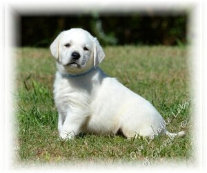 Labrador Retriever Dog Breeder in CANON,  USA