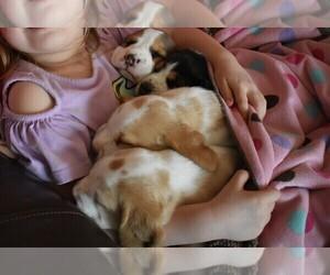 Beagle Dog Breeder in MOULTON,  USA