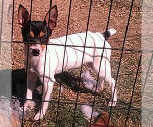 Fox Terrier (Toy) Dog Breeder near PROVDENCE FRG, VA, USA