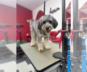 Aussiedoodle Dog Breeder in CASEY CREEK,  USA