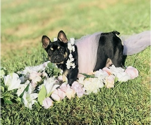 Main photo of French Bulldog Dog Breeder near MONETTE, AR, USA