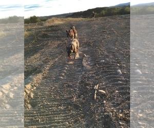 Main photo of Belgian Malinois Dog Breeder near FAIRPLAY, MD, USA