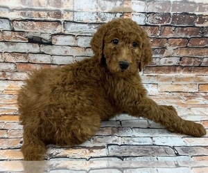 Labradoodle Dog Breeder in SHELL KNOB,  USA