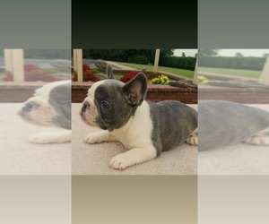 French Bulldog Dog Breeder in FORREST CITY,  USA
