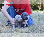 Weimaraner Breeder in LIBERTY, SC