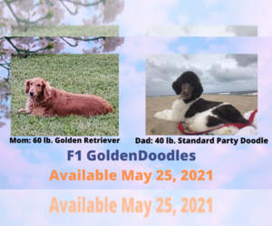 Main photo of Goldendoodle Dog Breeder near WEST PALM BEACH, FL, USA