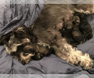 Main photo of Schnauzer (Miniature) Dog Breeder near WATERBURY, CT, USA