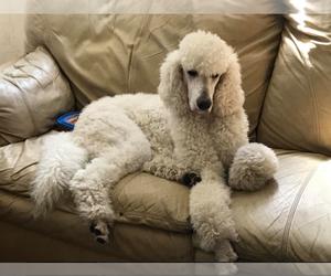 Main photo of Poodle (Standard) Dog Breeder near HUBERT, NC, USA