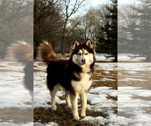 Siberian Husky Dog Breeder in SAINT JOSEPH,  USA