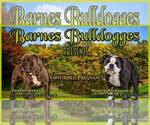 Olde English Bulldogge Breeder in DRESDEN, OH, USA