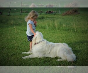 English Cream Golden Retriever Dog Breeder in NAMPA,  USA