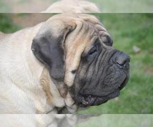 Main photo of Mastiff Dog Breeder near JEFFERSON, OH, USA