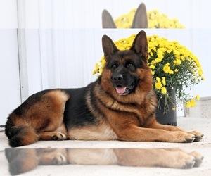 Main photo of German Shepherd Dog Dog Breeder near HUMBOLDT, IA, USA