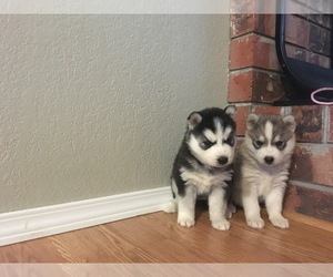 Siberian Husky Dog Breeder in WENATCHEE,  USA