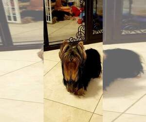 Yorkshire Terrier Dog Breeder in BEVERLY HILLS,  USA