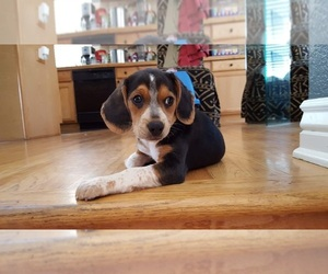 Beagle Dog Breeder near DENVER, CO, USA