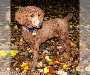 Poodle (Standard) Dog Breeder in WILSON,  USA