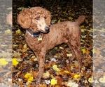 Poodle (Standard) Breeder in WILSON, CT, USA