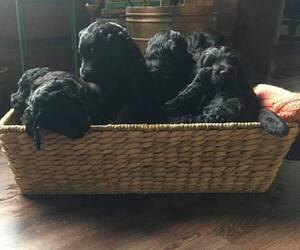 Bernedoodle Dog Breeder in ADAIRVILLE,  USA