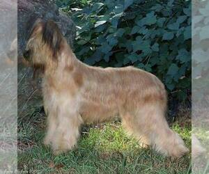 Main photo of Briard Dog Breeder near GAINESVILLE, GA, USA