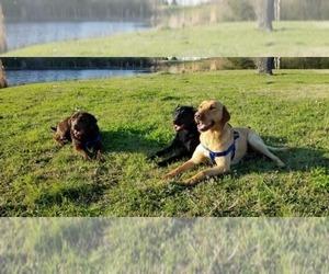 Main photo of Labrador Retriever Dog Breeder near ROCKWALL, TX, USA
