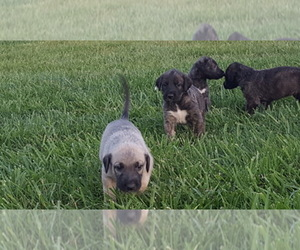 Main photo of Irish Wolfhound Dog Breeder near MONTGOMERY, IN, USA