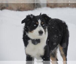 Main photo of Miniature Australian Shepherd Dog Breeder near OCONTO FALLS, WI, USA