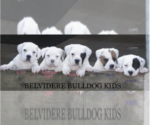Main photo of American Bulldog Dog Breeder near BELVIDERE, TN, USA
