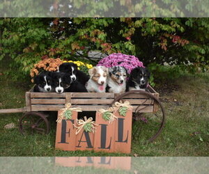 Main photo of Australian Shepherd Dog Breeder near GOWER, MO, USA
