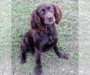 Main photo of Boykin Spaniel Dog Breeder near SILVER CREEK, GA, USA