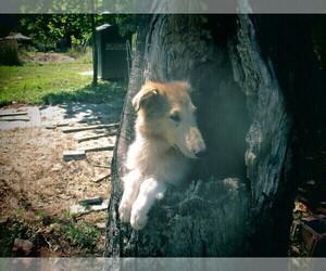 Main photo of Collie Dog Breeder near BROADWAY, VA, USA