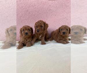 Main photo of Maltese-Maltipoo Mix Dog Breeder near Orgovany, Bacs-Kiskun, Hungary