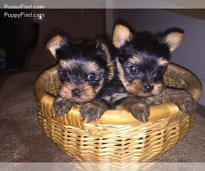 Yorkshire Terrier Dog Breeder in PATERSON,  USA
