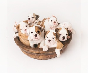 English Bulldog Dog Breeder near CORONA, CA, USA