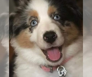 Main photo of Australian Shepherd Dog Breeder near BERTRAM, TX, USA