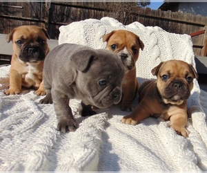Main photo of French Bulldog Dog Breeder near MODESTO, CA, USA