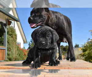 Cane Corso Dog Breeder in BORDERTOWN,  USA