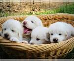 Great Pyrenees Breeder in HUGGINS, MO, USA
