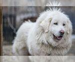 Tibetan Mastiff Breeder in DRESHER, PA