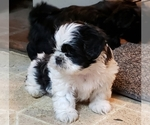 Shih Tzu Breeder in RAINIER, WA, USA