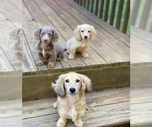 Dachshund Dog Breeder near WILSONVILLE, AL, USA