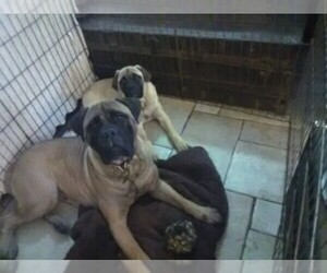 Bullmastiff Dog Breeder near N LITTLE ROCK, AR, USA
