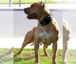 American Pit Bull Terrier Dog Breeder near MENIFEE, CA, USA