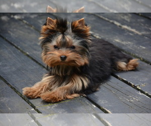 Yorkshire Terrier Breeder in LOS ANGELES, CA